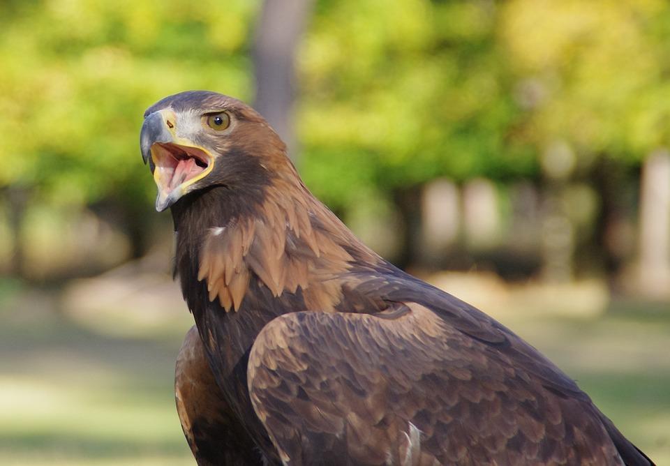 Bird, Raptor, Adler, Golden Eagle, Close Up, Cry, Bill