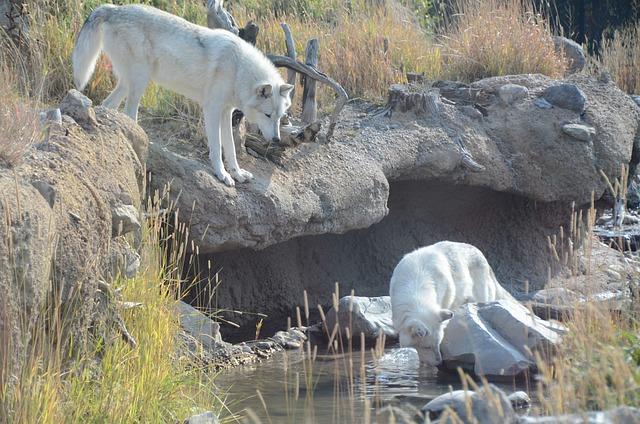 Wolves White Animals 183 Free Photo On Pixabay