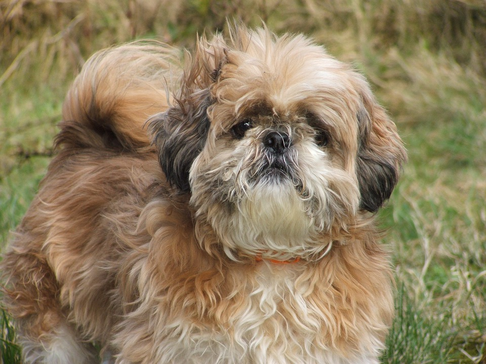Dog, Shih Tzu, Animal, Small, Fluffy, Pet, Pets, Cute