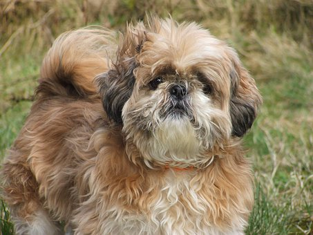 Dog, Shih Tzu, Animal, Small, Fluffy