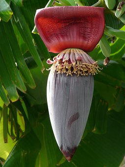 バナナ, フルーツ, 花序, 赤, 紫, 苞葉, 花, バナナ デザート