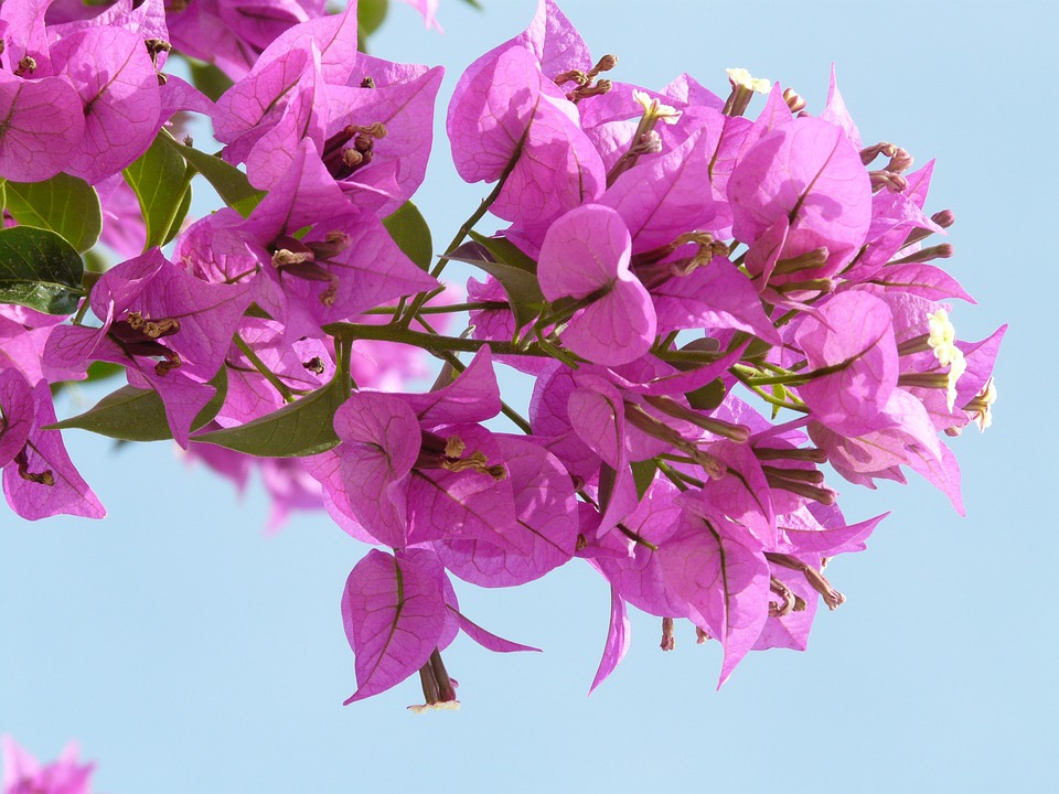 Bougainvillea, Pink, Flower, Blossom, Bloom