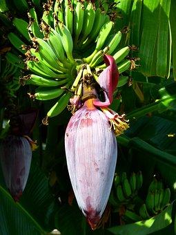 バナナ, 花, バナナの花, フルーツ グリーン, 健康, おいしい