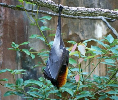 Bats Fruit Bat Giant Bat Malayan Flying Fo