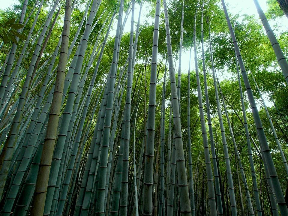 rừng tre nứa bamboo màu xanh lá cây