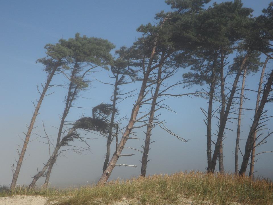 Windflüchter, Wind, Bäume, Küste, Strand, Meer, Ostsee