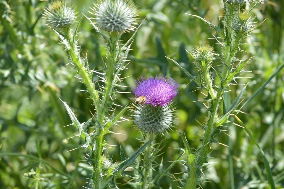 Thistles Plants Purple · Free photo on Pixabay