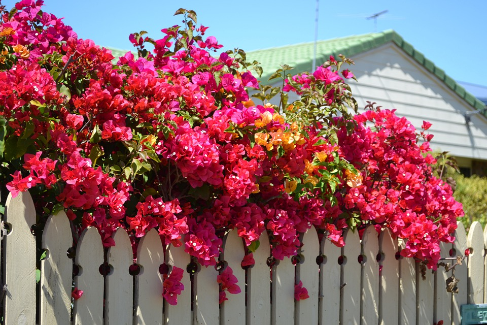 Bougainvillea, Plant, Nature, Flower, Spring, Colour