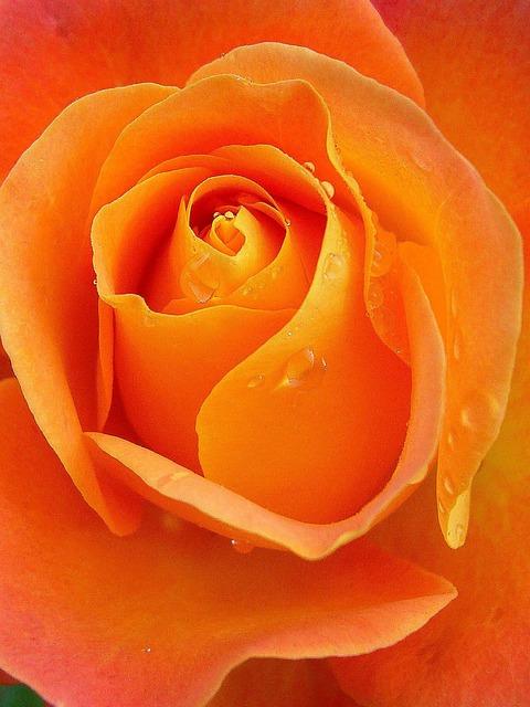 rose petals images free download