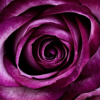 Purple flowers images pixabay download free pictures plant rose flower petals nature mightylinksfo