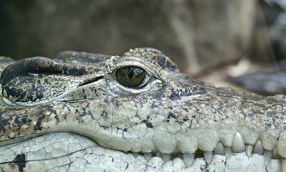 Crocodile, Animal, Eye, Alligator