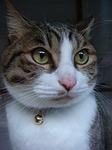 cat, gallant