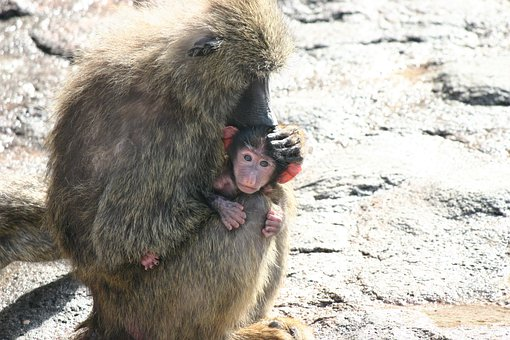 サル, 猿, モンキー, 動物, 親子, 動物園