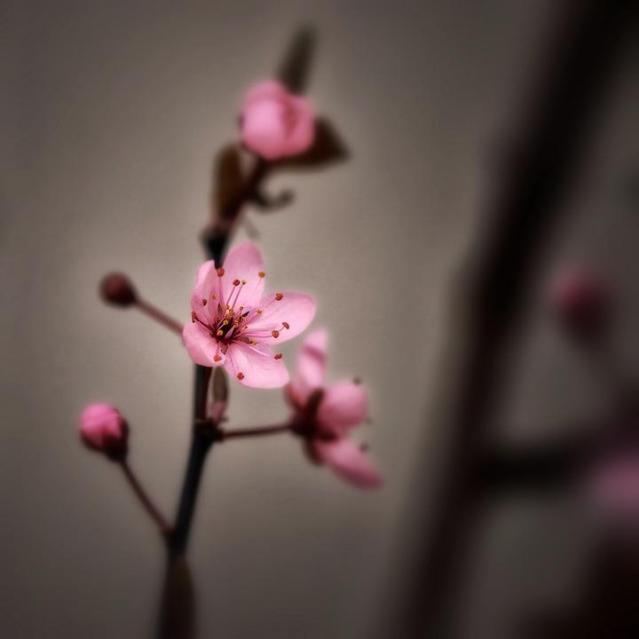 Foto gratis: Los Cerezos En Flor, Primavera - Imagen ...