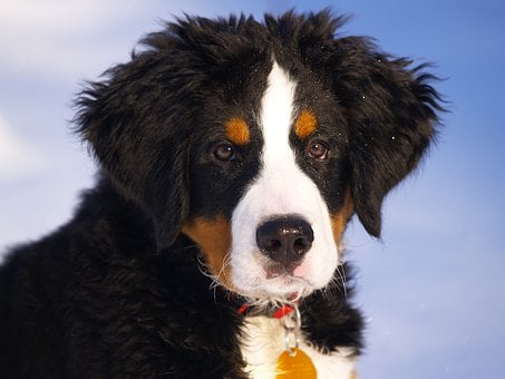 Bernese Mountain Dog Puppies For Sale in Wyoming