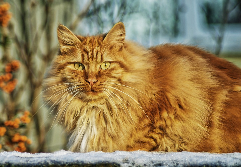 Gato, Felino, Animal De Estimação, Animal, Ginger Cat