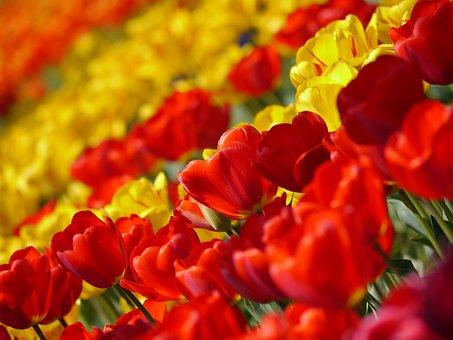 Tulip, Rouge, Huang, Fleurs, Printemps