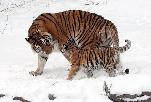 Tiger, Siberian Tiger, Tiger Cub