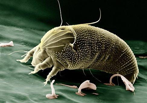 Mite Aceria Anthocoptes Acari Arachnid Spi