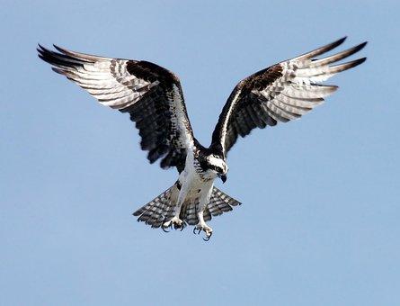 Osprey Adler Bird Of Prey Raptor Bird Pand