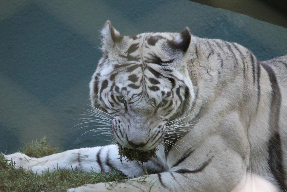 Tygrys White Albino Darmowe Zdjęcie Na Pixabay