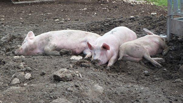 Pig, Mattsch, Mud, Schweinerei, Pig, Pig