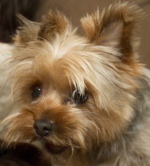 Haley, Dog, Yorkie, Terrier, Pet, Canine