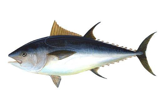 Tuna, Fish, Bigeye Tuna, Thunnus Obesus