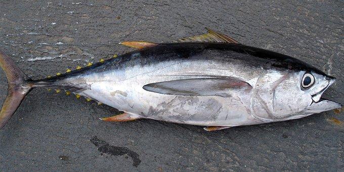 ICCAT принял предложения ЕС по усилению контроля промысла голубого тунца