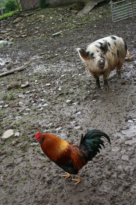 Shio Ayam dan Babi