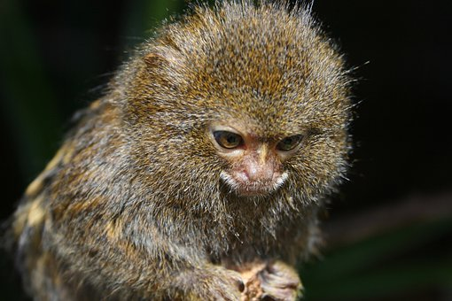 Monkey, Pygmy Marmoset, Dwarf Monkey
