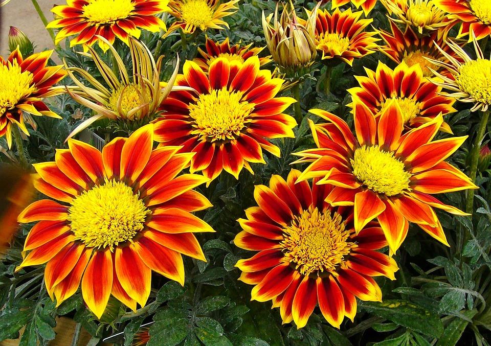 Gazanias pianta da giardino · foto gratis su pixabay