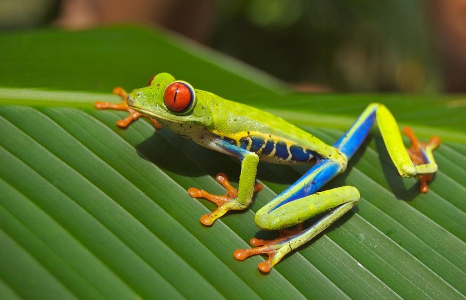 Frog, Animal, Wildlife, Tree Frog, Red-Eyed Tree Frog