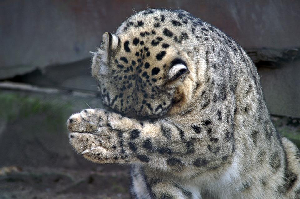 Snow Leopard, Paw, Misery, Threatened, Skull, Big Cat