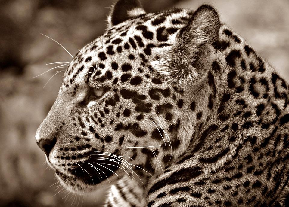 jaguar-70026_960_720.jpg