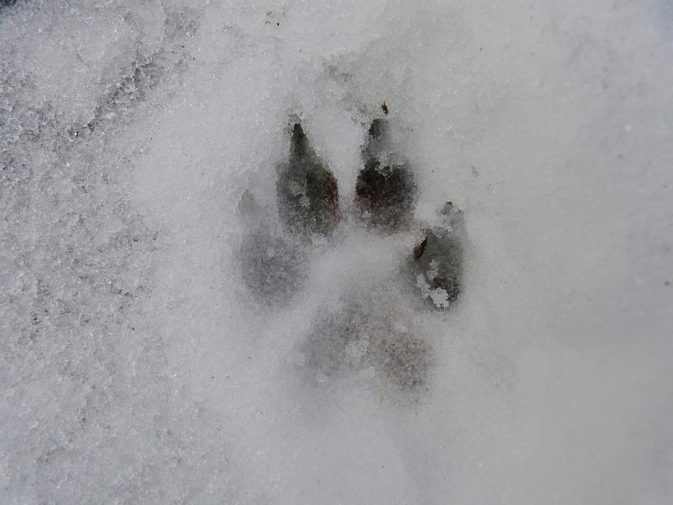 Snö, Låt, Nytryck, Hund, Varg, Klo, Mul, Vinter, Kall