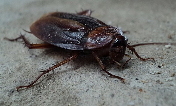 Cockroach, Beetle, Pest, Insect, Wing