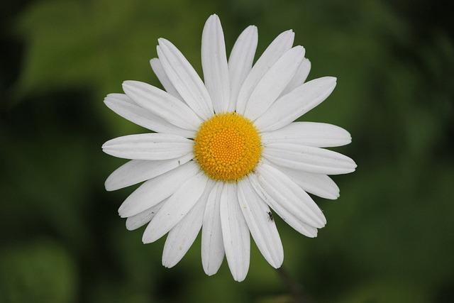 Foto gratis: Margherita, Fiori, Bloom, Ramo - Immagine gratis su Pixabay - 71155