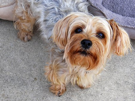 Yorkie, Terrier, Dog, Pet, Canine, Puppy
