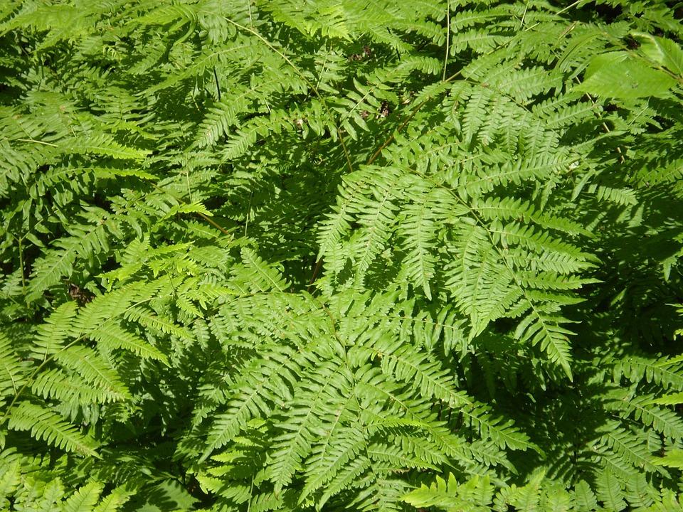 Free photo ferns bracken greenery greens free image for Non toxic ferns