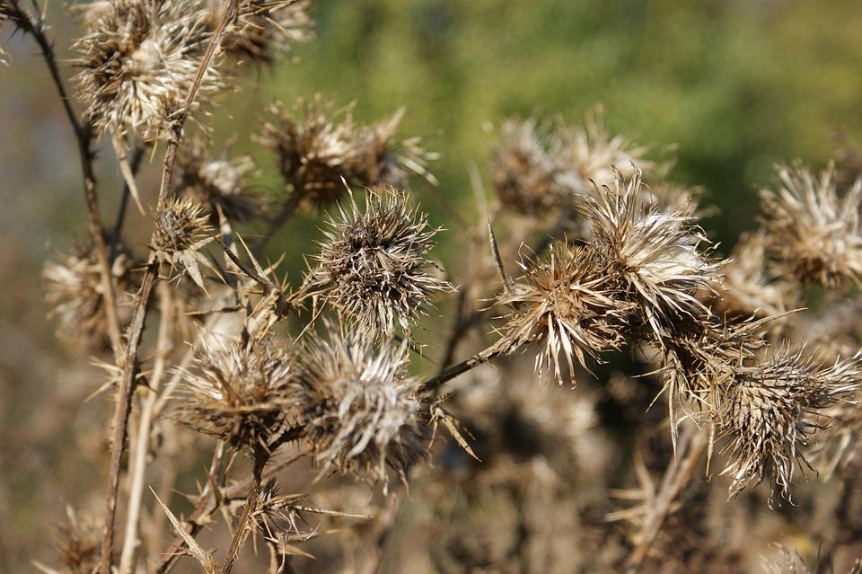 Chardons Fleur Seche Plantes Photo Gratuite Sur Pixabay