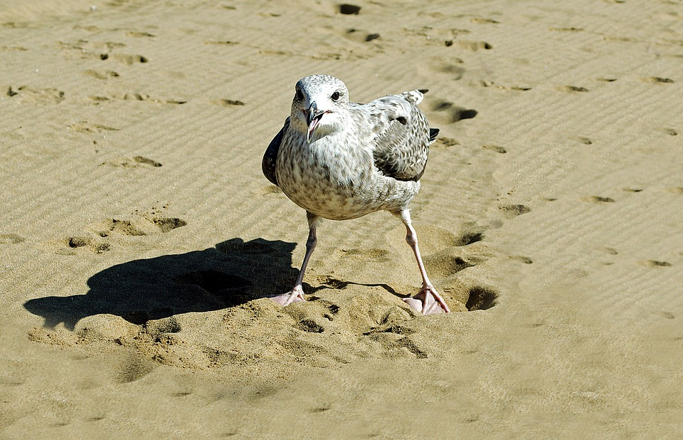 Female seagull - photo#45