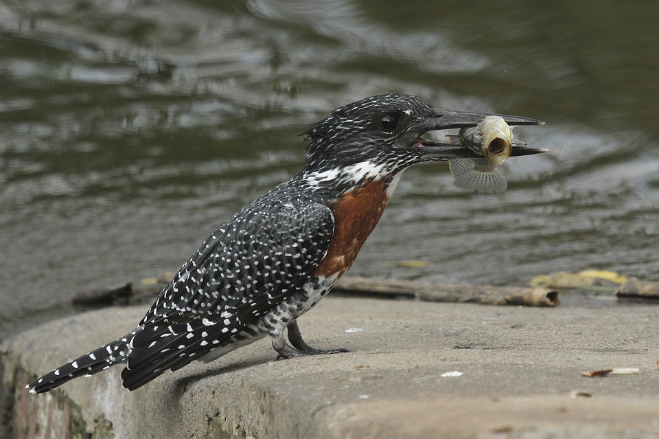 Kingfisher Raksasa, Burung, Bulu, Burung Pekakak, Sayap