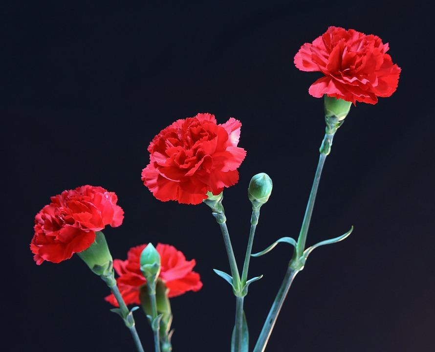 Cravos Vermelhos, Perene, Floral, Planta, Natural, Flor