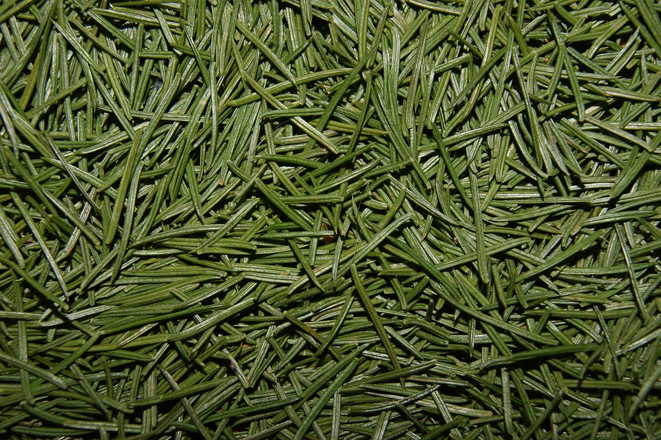 Needles Pine Christmas · Free Photo On Pixabay