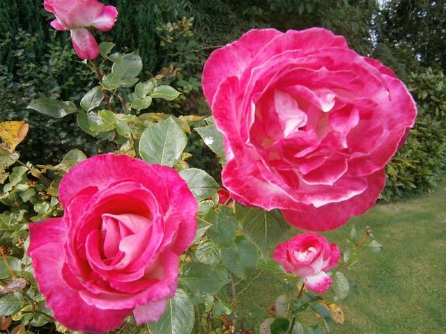 kostenloses foto rosen garten blumen pflanzen kostenloses bild auf pixabay 73373. Black Bedroom Furniture Sets. Home Design Ideas