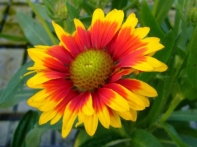 Download Free Flowers Photos: Gaillardia Blanket Flowers · Free Photo On Pixabay