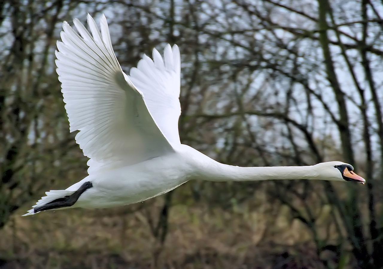 тоже картинки летающего лебедя соль
