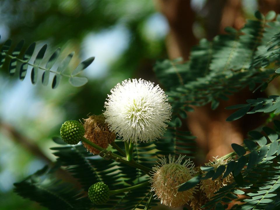 acacia flowers blossom bloom  u00b7 free photo on pixabay