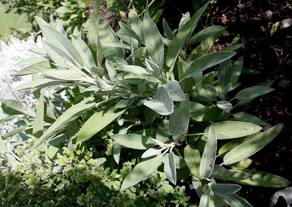 Sage, Bush, Plantes, Kraeuer, Épices, Feuilles De Sauge
